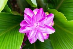 Λουλούδι Krachai Στοκ εικόνες με δικαίωμα ελεύθερης χρήσης