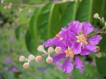 Λουλούδι Lagerstroemia Στοκ Φωτογραφία