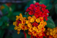 Λουλούδι Lantana Στοκ εικόνες με δικαίωμα ελεύθερης χρήσης