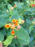 Λουλούδι Lantana Στοκ Εικόνες