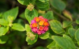 Λουλούδι Lantana Στοκ φωτογραφίες με δικαίωμα ελεύθερης χρήσης