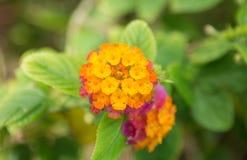 Λουλούδι Lantana Στοκ φωτογραφία με δικαίωμα ελεύθερης χρήσης