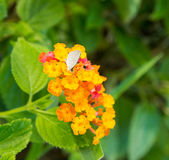 Λουλούδι Lantana Στοκ Φωτογραφίες