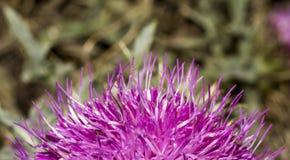 Λουλούδι lappa Arctium ροζ Στοκ Εικόνες