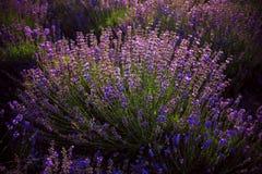 Λουλούδι Lavander στην Κριμαία Φως ηλιοβασιλέματος Στοκ Εικόνα