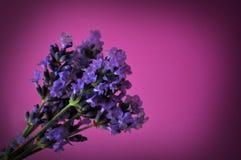 Λουλούδι Lavander στη βιολέτα Στοκ φωτογραφία με δικαίωμα ελεύθερης χρήσης