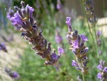 Λουλούδι Lavander Στοκ εικόνες με δικαίωμα ελεύθερης χρήσης