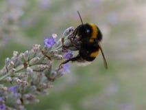Λουλούδι Lavendel Στοκ Εικόνες