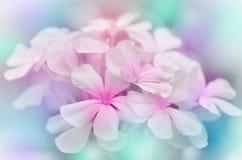 Λουλούδι Leadwort ακρωτηρίων Στοκ εικόνα με δικαίωμα ελεύθερης χρήσης