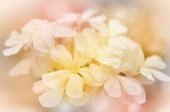 Λουλούδι Leadwort ακρωτηρίων Στοκ φωτογραφία με δικαίωμα ελεύθερης χρήσης