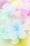 Λουλούδι Leadwort ακρωτηρίων Στοκ Εικόνα