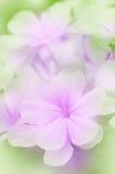 Λουλούδι Leadwort ακρωτηρίων Στοκ Φωτογραφία