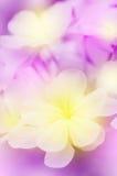Λουλούδι Leadwort ακρωτηρίων Στοκ φωτογραφίες με δικαίωμα ελεύθερης χρήσης