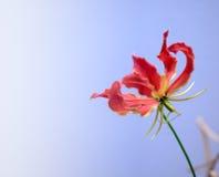 Λουλούδι leichtlinii Lilium Στοκ φωτογραφίες με δικαίωμα ελεύθερης χρήσης