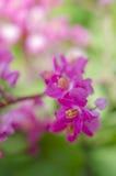 Λουλούδι leptopus Antigonon Στοκ εικόνα με δικαίωμα ελεύθερης χρήσης