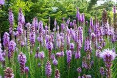 Λουλούδι Liatris στοκ εικόνες