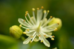 Λουλούδι Linden Στοκ Εικόνα