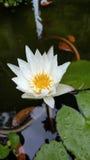 Λουλούδι Lotos στο νερό Στοκ εικόνες με δικαίωμα ελεύθερης χρήσης