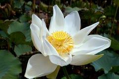 Λουλούδι Lotos Στοκ φωτογραφία με δικαίωμα ελεύθερης χρήσης