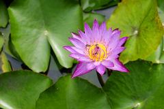 Λουλούδι Lotus με τις μέλισσες Στοκ φωτογραφίες με δικαίωμα ελεύθερης χρήσης