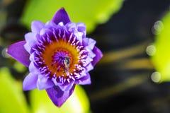 Λουλούδι Lotus με τις μέλισσες Στοκ Φωτογραφία