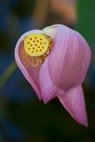 Λουλούδι Lotus με το λοβό και το υπόβαθρο σπόρου Στοκ Εικόνα