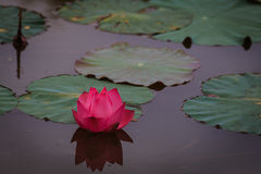 Λουλούδι Lotus με το φύλλο Στοκ Φωτογραφία