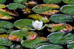Λουλούδι Lotus που επιπλέει μεταξύ των μαξιλαριών κρίνων Στοκ φωτογραφία με δικαίωμα ελεύθερης χρήσης