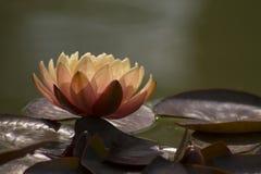 Λουλούδι Lotus στη λίμνη Στοκ φωτογραφία με δικαίωμα ελεύθερης χρήσης