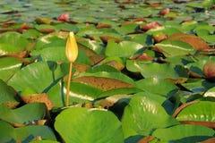 Λουλούδι Lotus στον τροπικό κήπο στοκ εικόνες με δικαίωμα ελεύθερης χρήσης