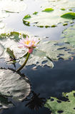 Λουλούδι Lotus στο θερμό νερό Στοκ φωτογραφίες με δικαίωμα ελεύθερης χρήσης