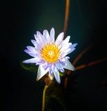 Λουλούδι Lotus στο θερμό νερό Στοκ Φωτογραφία