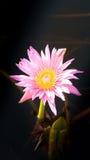 Λουλούδι Lotus στο θερμό νερό Στοκ φωτογραφία με δικαίωμα ελεύθερης χρήσης