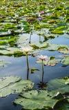 Λουλούδι Lotus στο θερμό νερό Στοκ Εικόνες