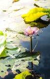 Λουλούδι Lotus στο θερμό νερό Στοκ εικόνα με δικαίωμα ελεύθερης χρήσης