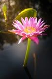 Λουλούδι Lotus στο θερμό νερό Στοκ Εικόνα