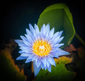 Λουλούδι Lotus στο θερμό νερό Στοκ εικόνες με δικαίωμα ελεύθερης χρήσης