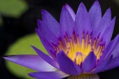 Λουλούδι Lotus στο μαύρο υπόβαθρο Στοκ φωτογραφία με δικαίωμα ελεύθερης χρήσης