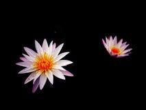Λουλούδι Lotus στο Μαύρο Στοκ Εικόνα