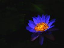Λουλούδι Lotus στο Μαύρο Στοκ Εικόνες