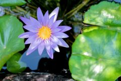 Λουλούδι Lotus στο πορφυρό ιώδες χρώμα με τα πράσινα φύλλα στη λίμνη νερού φύσης Στοκ Εικόνες