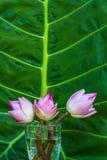 Λουλούδι Lotus στο πράσινο φύλλο Στοκ φωτογραφία με δικαίωμα ελεύθερης χρήσης
