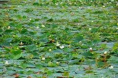 Λουλούδι Lotus, Srí Lanka Στοκ φωτογραφίες με δικαίωμα ελεύθερης χρήσης