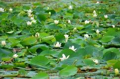 Λουλούδι Lotus, Srí Lanka Στοκ εικόνα με δικαίωμα ελεύθερης χρήσης