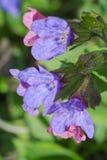 Λουλούδι Lungwort Στοκ φωτογραφίες με δικαίωμα ελεύθερης χρήσης