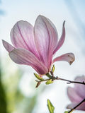 Λουλούδι Magnolia στο άνθος Στοκ φωτογραφίες με δικαίωμα ελεύθερης χρήσης