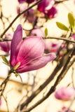 Λουλούδι Magnolia Στοκ εικόνα με δικαίωμα ελεύθερης χρήσης