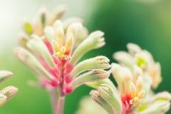 Λουλούδι manglesii Anigozanthos, κοινό mangles ονόματος πόδι καγκουρό, Στοκ Εικόνα