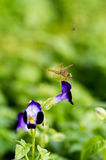 Λουλούδι Mangpor Στοκ εικόνα με δικαίωμα ελεύθερης χρήσης