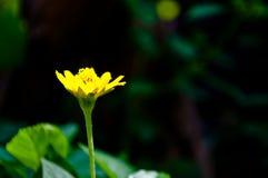 Λουλούδι Melampodium Στοκ εικόνες με δικαίωμα ελεύθερης χρήσης